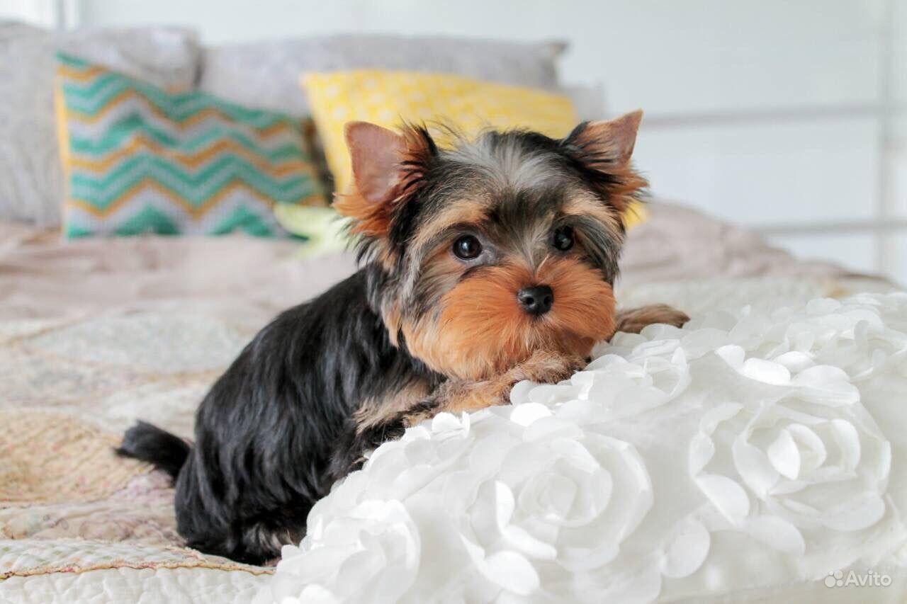 Йоркширский терьер -очень красивые щенки в Иваново - фотография № 8
