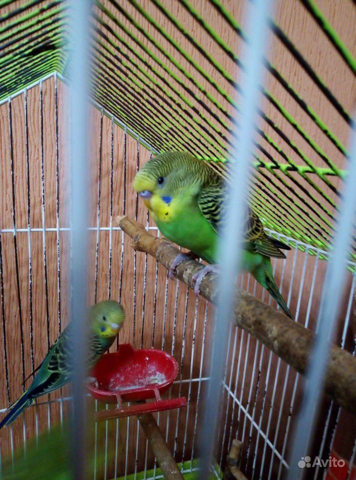 Волнистый попугай(самец)