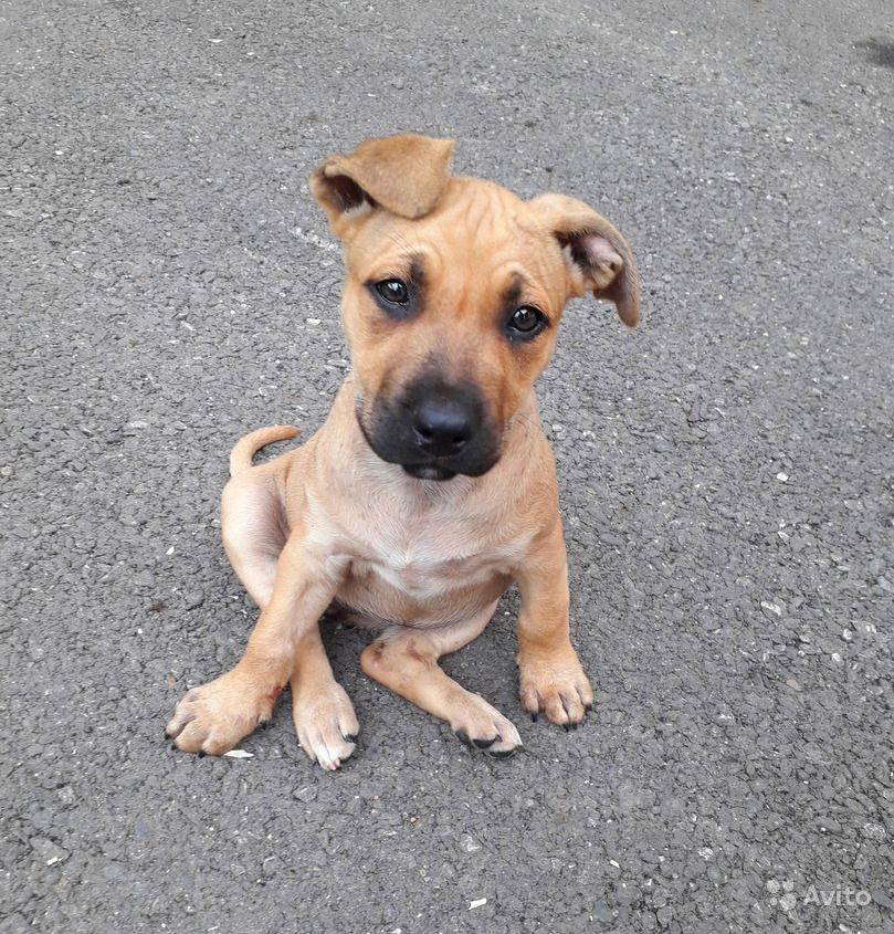 Рыжий, бежевый (палевый песчаный) щенок, 3 месяца