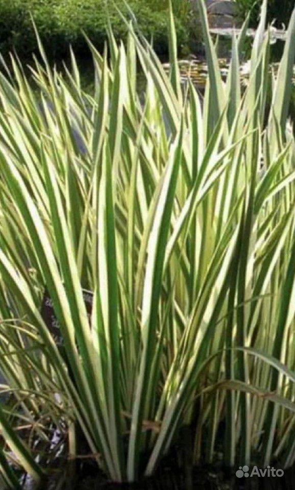 Растения для пруда купить на Зозу.ру - фотография № 4