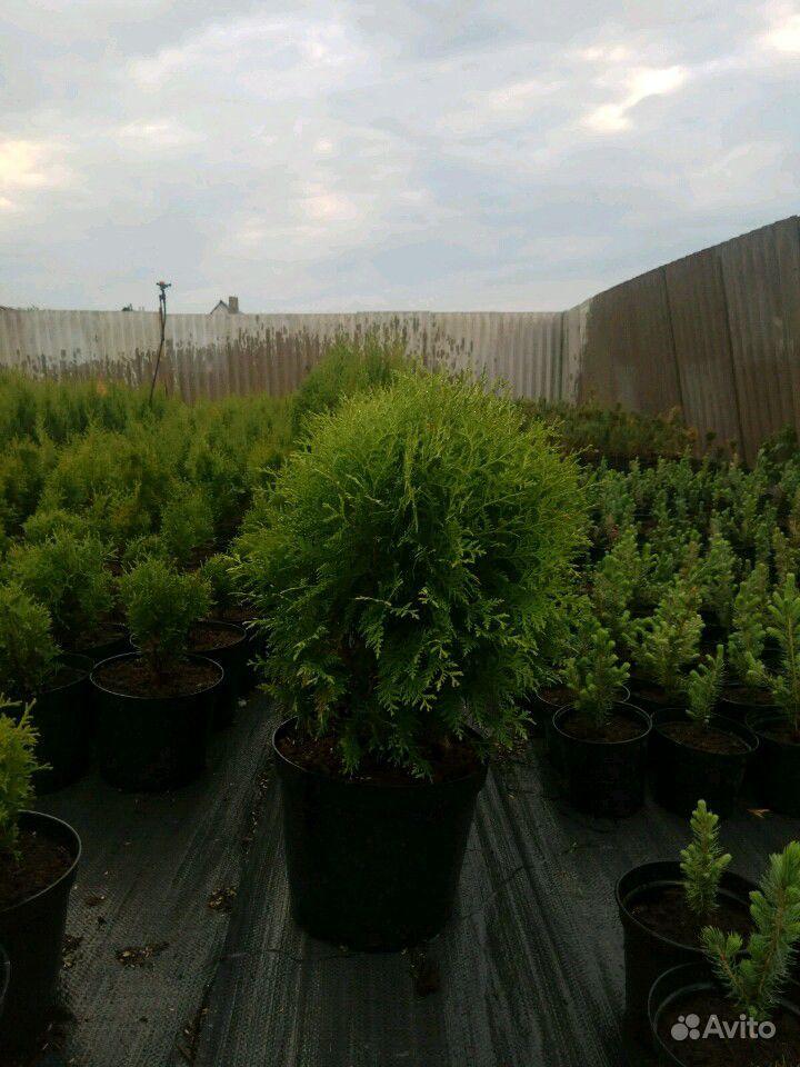 Хвойные деревья купить на Зозу.ру - фотография № 7