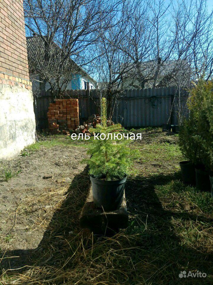 Хвойные растения,Туя (туи,ель,можжевельник) купить на Зозу.ру - фотография № 7
