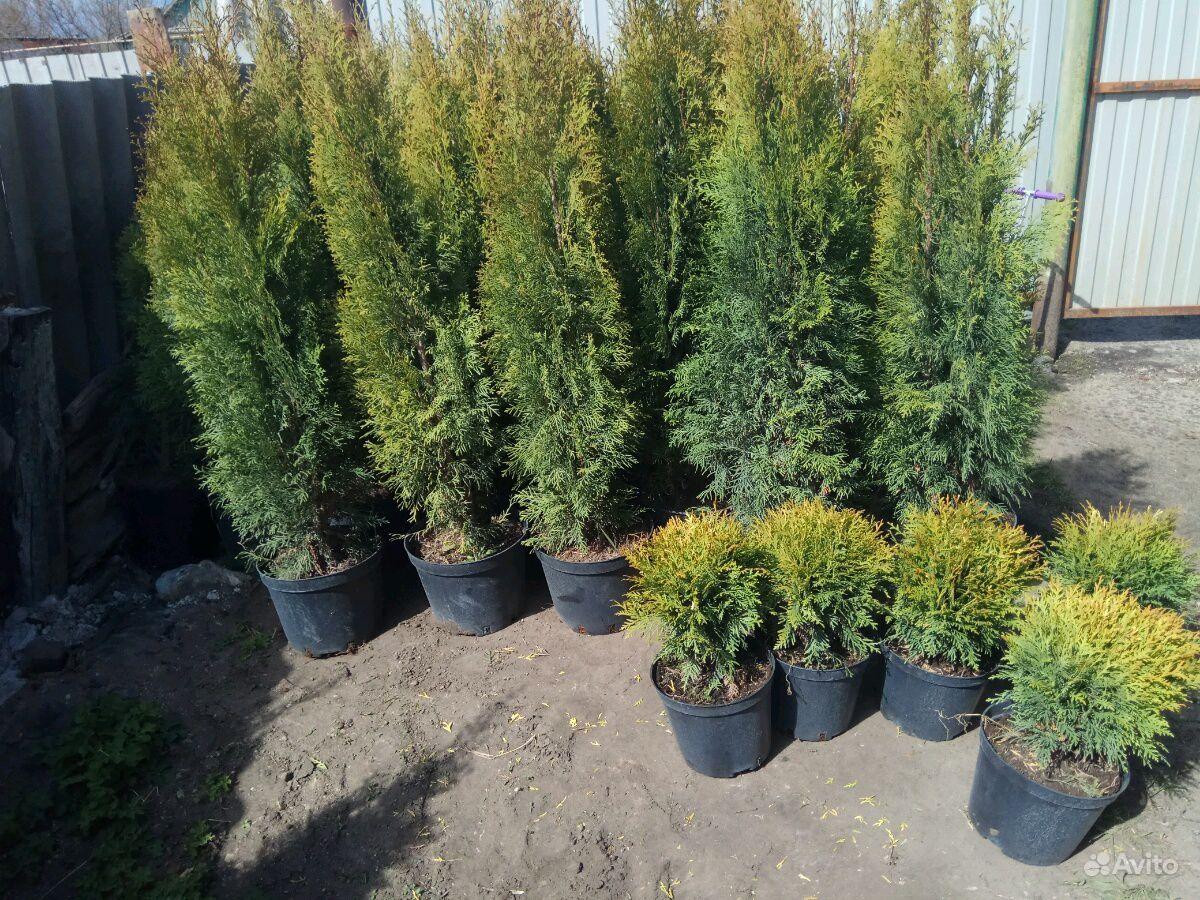 Хвойные растения,Туя (туи,ель,можжевельник) купить на Зозу.ру - фотография № 9