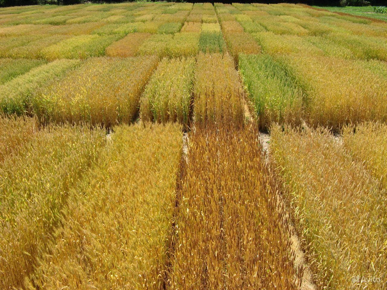 Семена озимой пшеницы. Суперэлита купить на Зозу.ру - фотография № 1