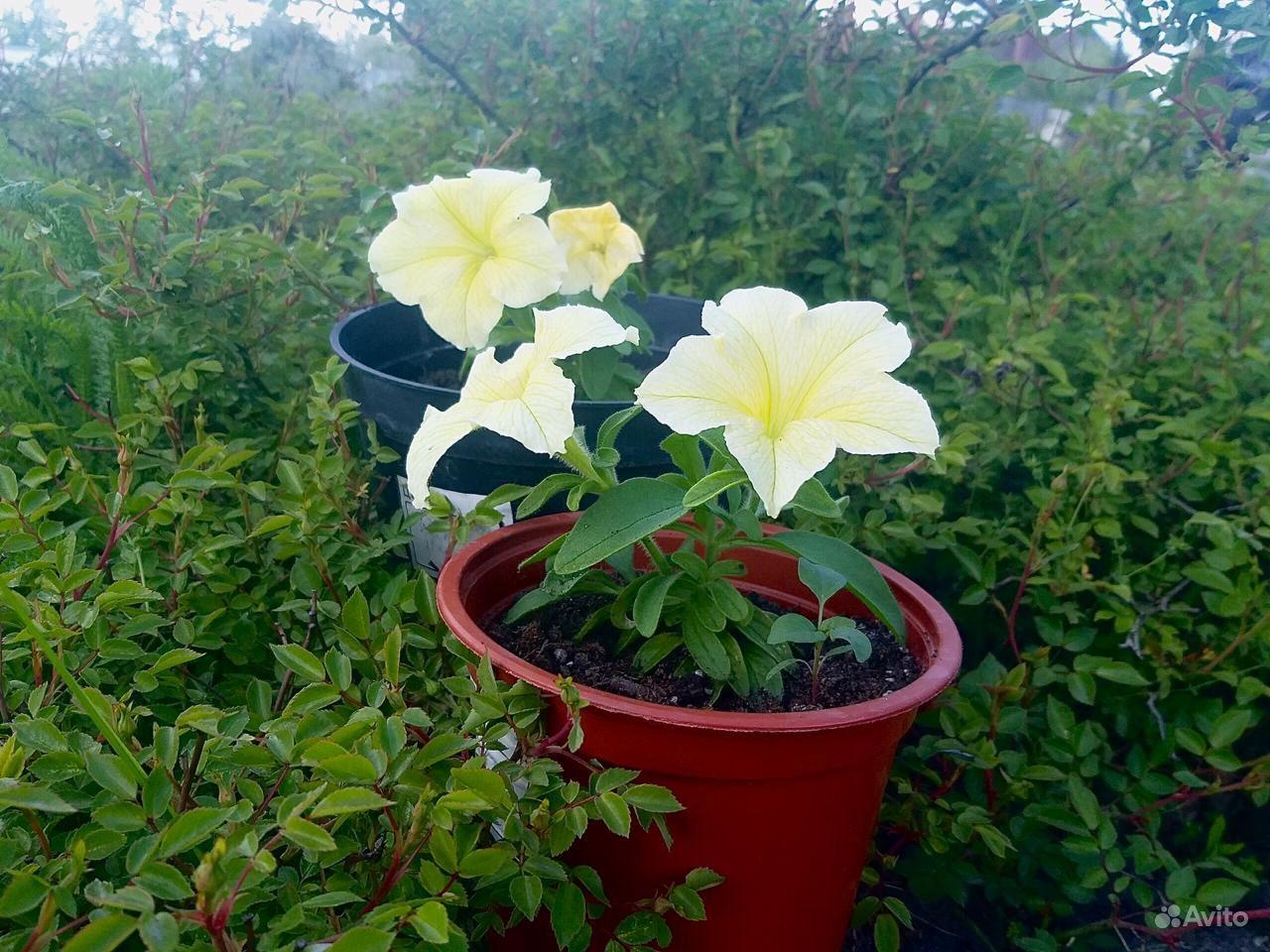 Рассада цветов вегетативная в горшках 0.8 л купить на Зозу.ру - фотография № 1
