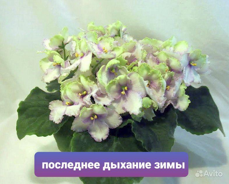 Фиалка купить на Зозу.ру - фотография № 4