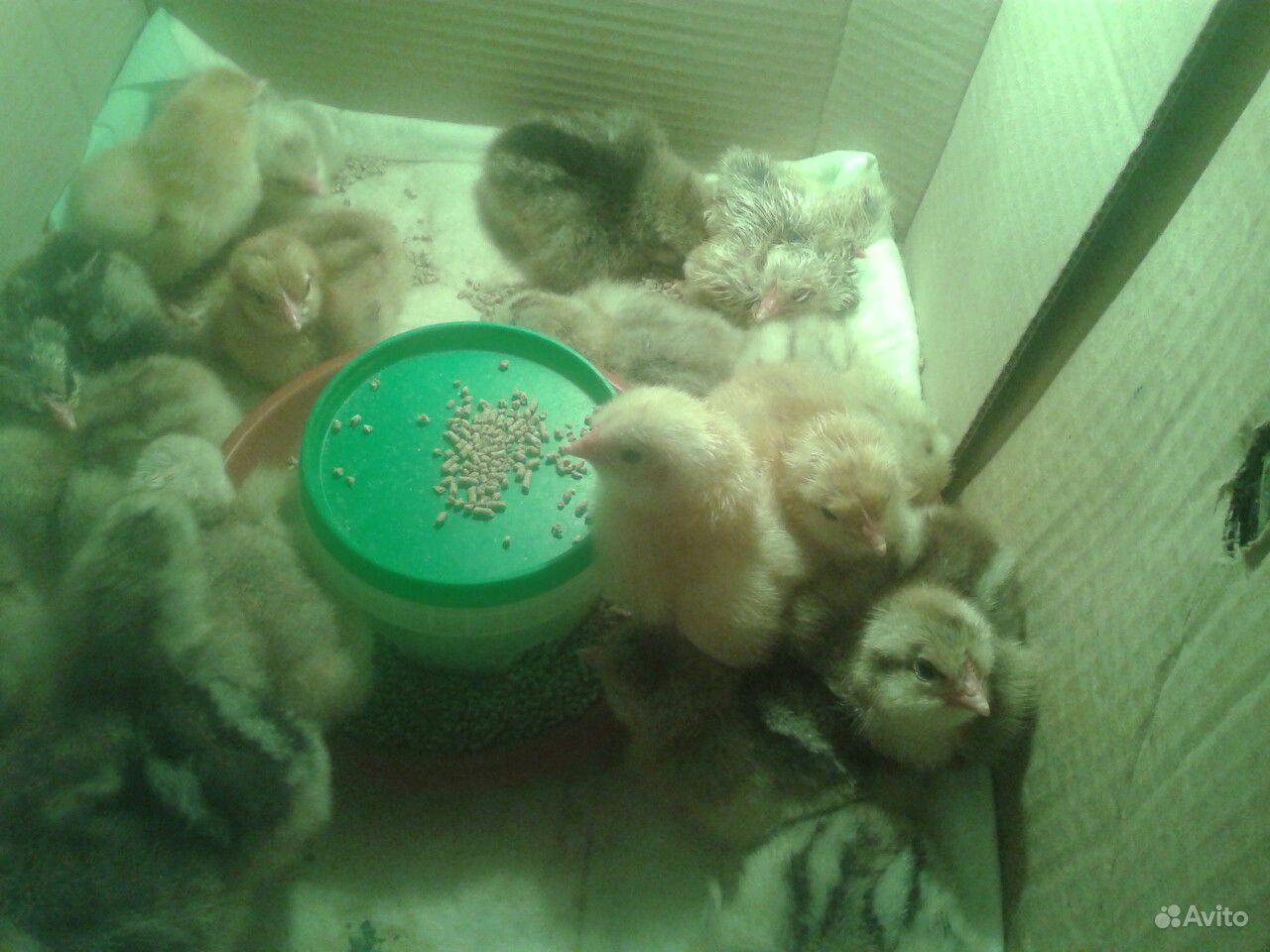 Цыплята, индоутята купить на Зозу.ру - фотография № 1