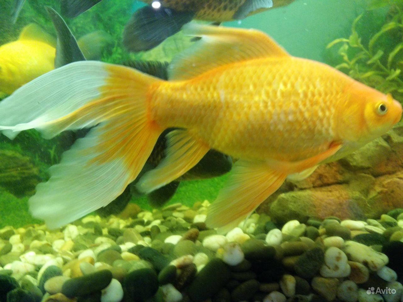 Коллекционные золотые рыбки купить на Зозу.ру - фотография № 9