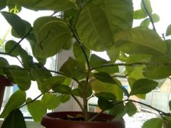 Лимоны дерево