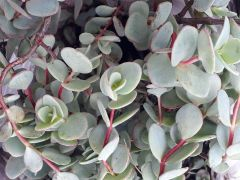 Почвопокровные растения 2 Очитки