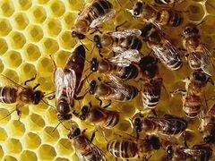 """Пчелопакеты, Пакеты пчел, тип породы """"Карпатка"""""""