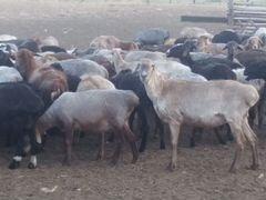 Продаю эдильбаевских овец