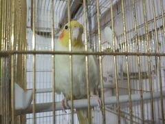 Попугай карела и клетка