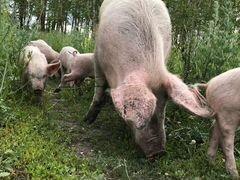 Продаётся бык и свин