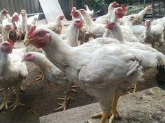 Цыплята бролеры