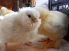 Цыплята фавероль,петухи фавероль