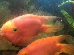 Рыбка Попугай (красный)