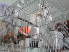 Продам клетку с попугаями и домиком