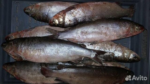 Объявления куплю в москве рыба муксун и нельма продажа торгового бизнеса в карловых варах