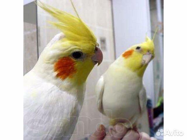 Авито отдам попугая москва