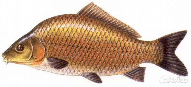 Common carp  Wikipedia