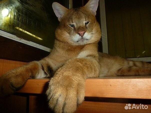 кошка чаузи отзывы