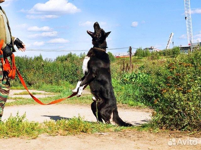 Великолепный Рэмбо, крупный,очень добрый пес в дар купить на Зозу.ру - фотография № 6