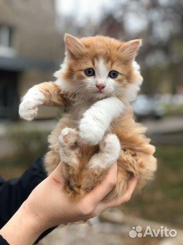 Шикарный рыжий котенок