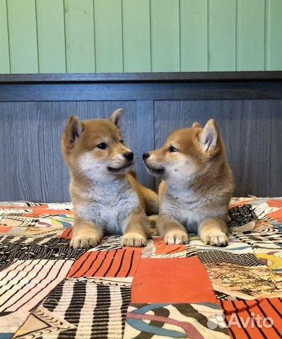 Предлагаем породистых щенков Сиба-Ину купить на Зозу.ру - фотография № 2