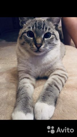 Продаются тайские котята 89304120205 купить 1