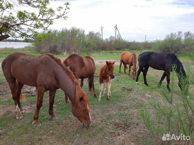 Лошади 89371294995 купить 2