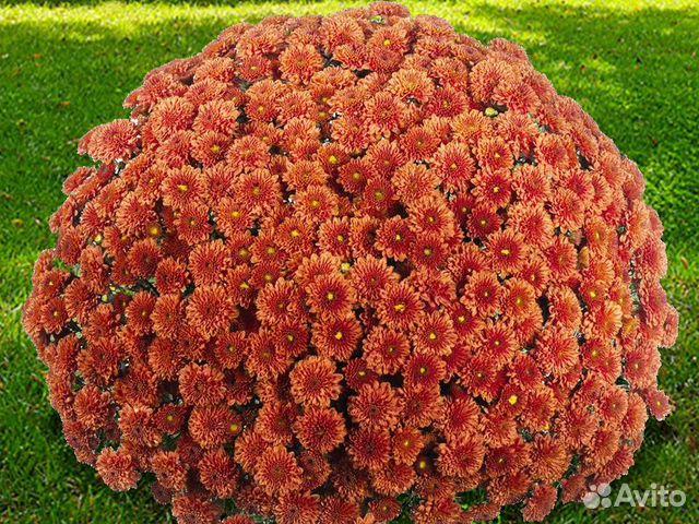Хризантемы  89806766903 купить 6