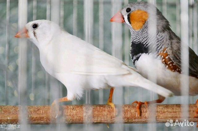 Амадины зебровые(экзотические птички) пара  89833534191 купить 3