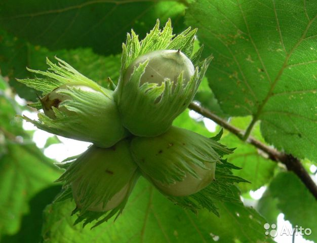 Лесной орех белкам, крысам,грызунам  89787812182 купить 1