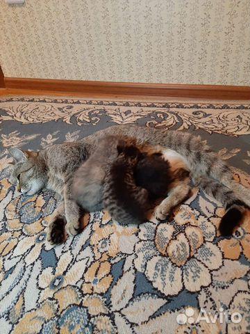 Кошка  89132359715 купить 4