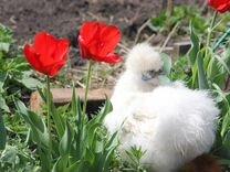 Китайские шелковые,курчавые цыплята