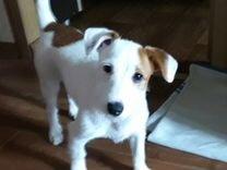 Собака Джек Рассел терьер девочка 5 месяцев