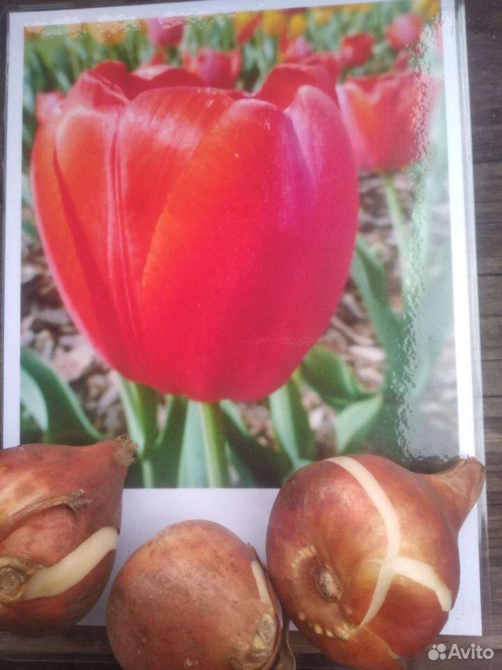 Тюльпаны  89500511750 купить 1