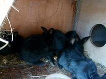 Продаю крольчат нзк и полтавское серебро