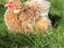 Яйцо кур Кохинхин карликовый