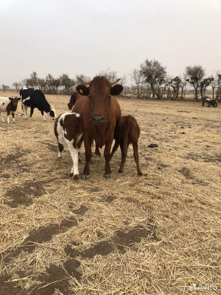 Коровы с телятами и две годовалые телки  89281899595 купить 3