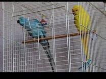 Жёлтый Ожереловый попугай. Девочка — Птицы в Геленджике