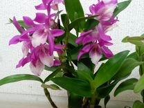 Орхидея (детка)