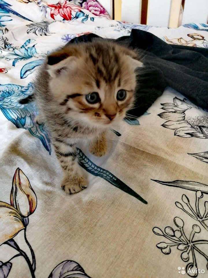Kittens Scottish fold and straight  89116291036 buy 1