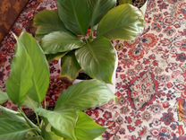 Спатифиллум — Растения в Саратове