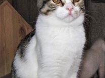 Кошечка от британки привитая 4 мес