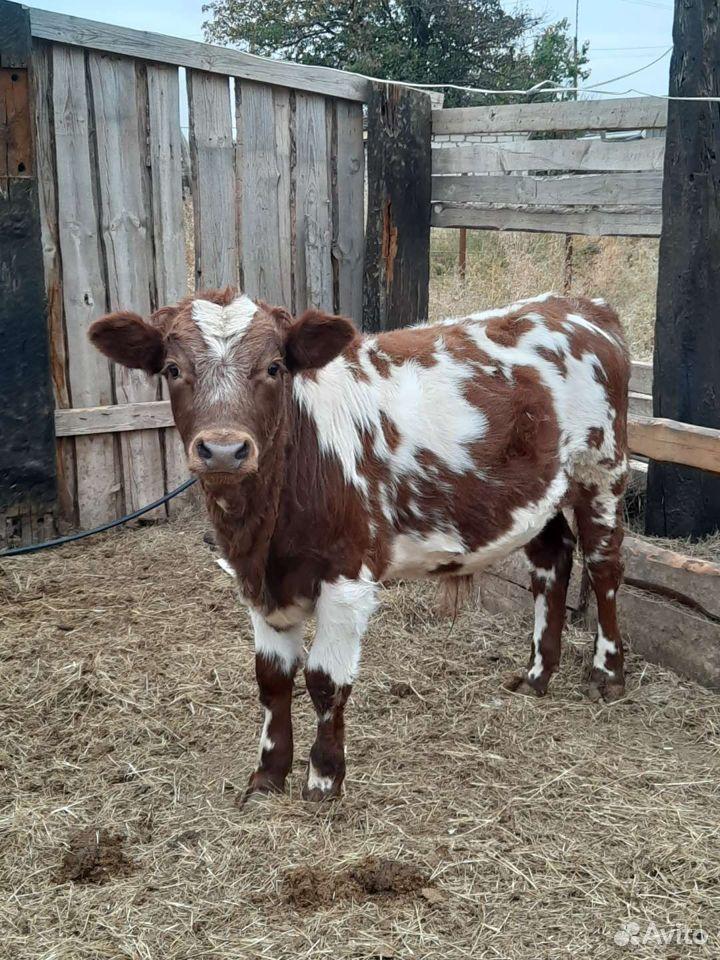 Корова  89610735802 купить 1