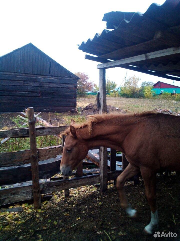 Лошадь  89048253386 купить 3