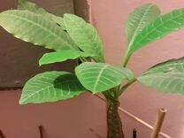 Молочай взрослое растение