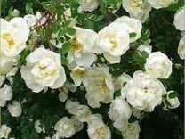 Кустовая белая роза шиповниковая колючая